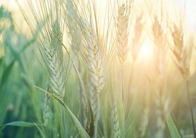 Close-up do campo de grãos verdes