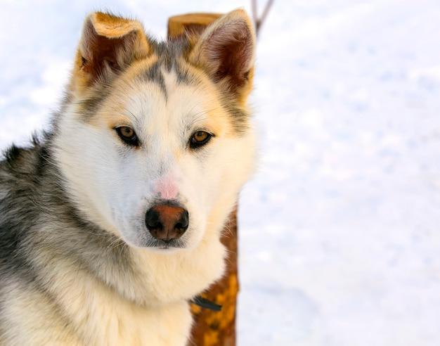 Close up do cão de puxar trenós siberian do cachorrinho do cão de trenó.