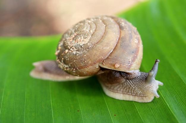 Close up do caracol grande na folha da banana, fundo natural. conceito animal.
