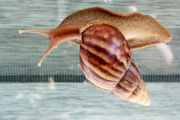 Close up do caracol grande no fundo dos indicadores de vidro em casa. conceito animal.