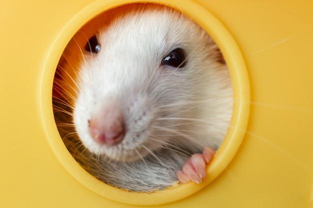 Close-up do engraçado rato doméstico branco com longos bigodes, sentado na casinha de cachorro de plástico amarelo.