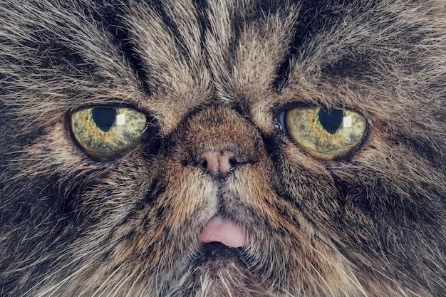 Close-up do focinho de um gato persa cinza