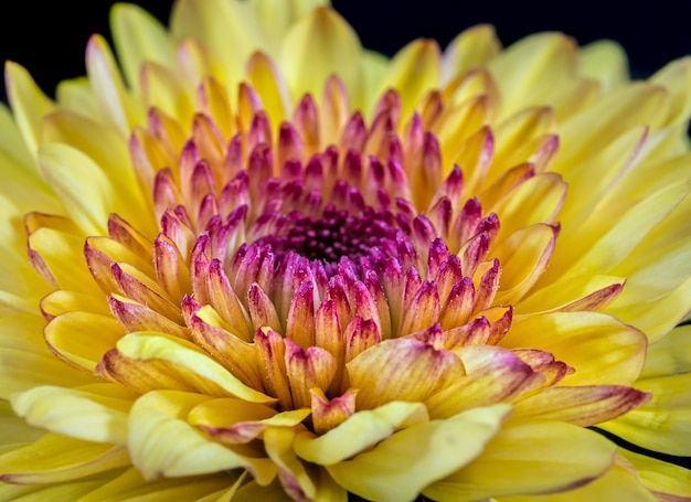 Close up do foco seletivo do crisântemo amarelo e roxo.