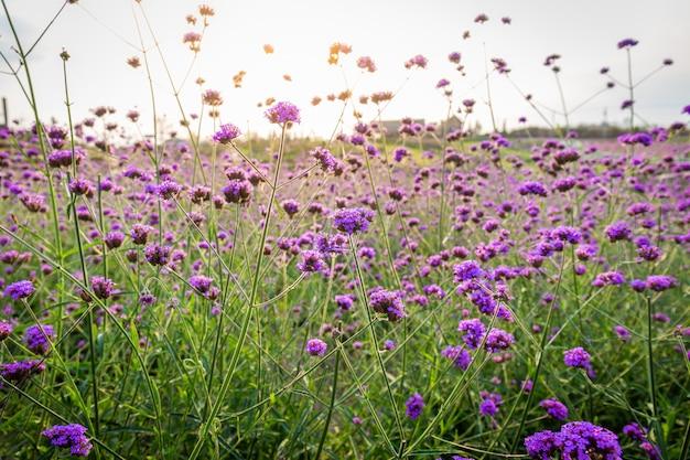 Close up do fundo de florescência do campo de flor da alfazema na montanha sob as cores vermelhas do por do sol do verão.