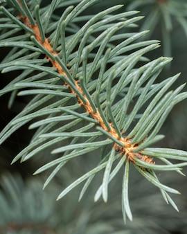 Close-up do galho de pinheiro
