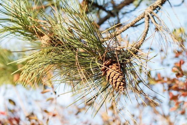 Close-up do galho de um pinheiro com um cone em uma floresta com a superfície natural desfocada