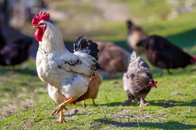 Close-up do galo bem alimentado branco bonito grande que guarda orgulhosamente o rebanho de galinhas que alimentam na grama verde no dia ensolarado brilhante na cena borrada. cultivo de aves, carne de frango e ovos conceito.