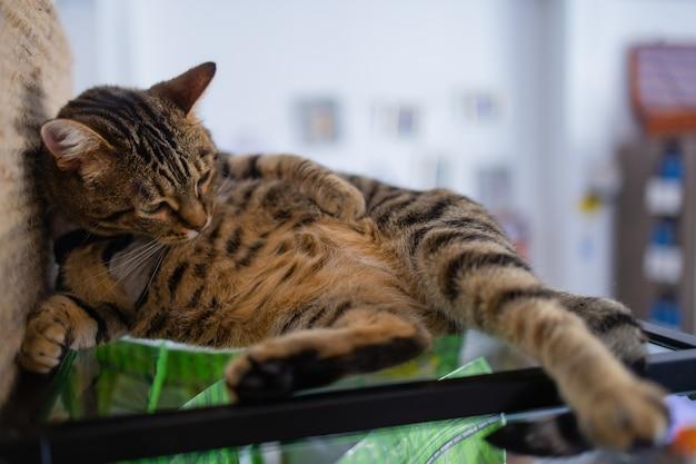 Close-up do gato doméstico bonito felis catus relaxante interior em casa sentado na mesa.