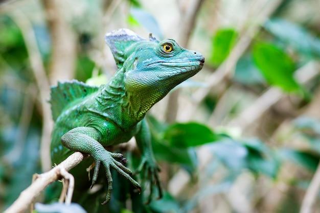 Close up do lagarto basilisk verde