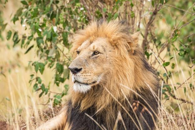 Close-up do leão