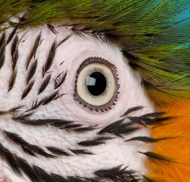 Close-up do olho de arara azul e amarelo, ara ararauna