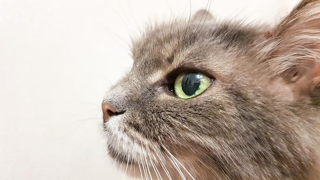 Close-up do olho de gato verde escuro. série gato de pêlo comprido adulto cinzento. close-up da cabeça do gato em um fundo de parede branca. o olhar do gato para o dono enquanto espera pela comida