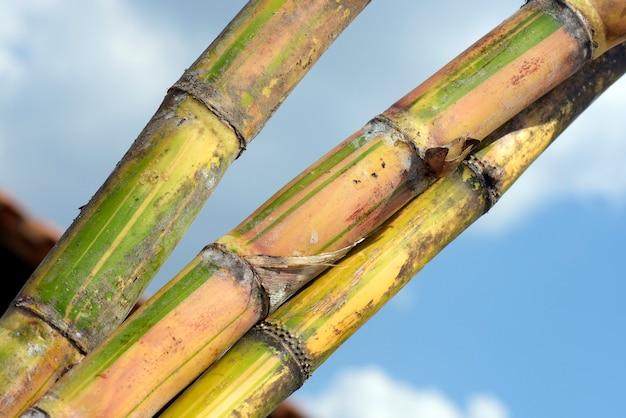 Close up do pacote de cana de açúcar, sob o céu azul