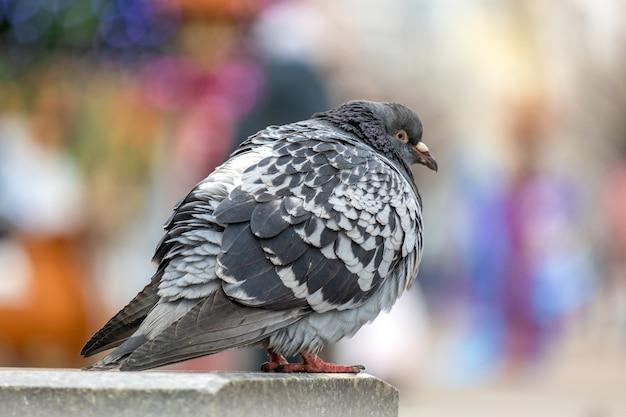 Close-up do pássaro pombo cinza em uma rua da cidade.
