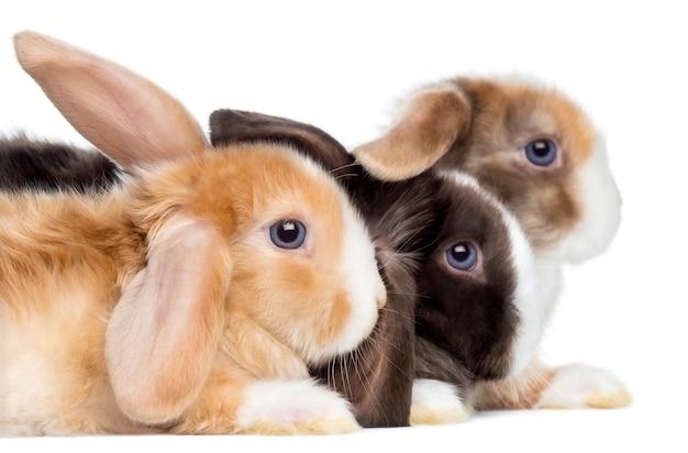 Close-up do perfil dos coelhos satin mini lop, isolado no branco