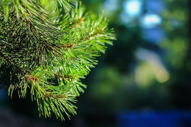 Close-up do ramo de pinho verde. agulhas de pinheiro turva no fundo.