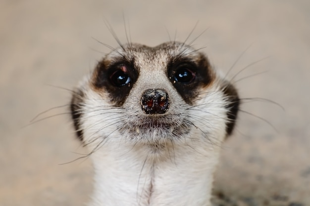 Close-up do rosto de meerkat