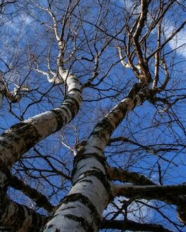 Close-up do tronco e ramos de bétula