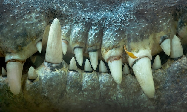 Close-up dos dentes de crocodilo.