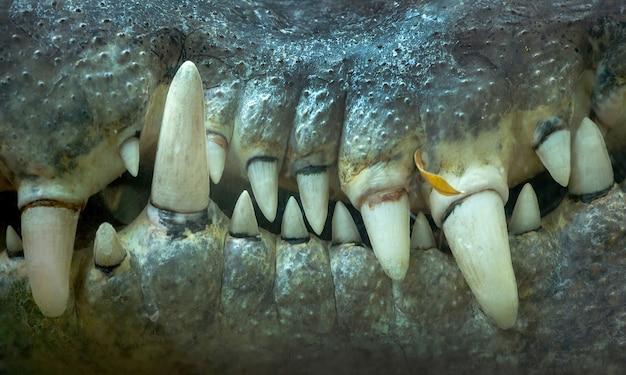 Close-up dos dentes de crocodilo.