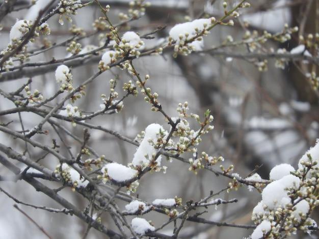 Close-up dos lindos galhos cobertos de neve de uma árvore com pequenas folhas e flores