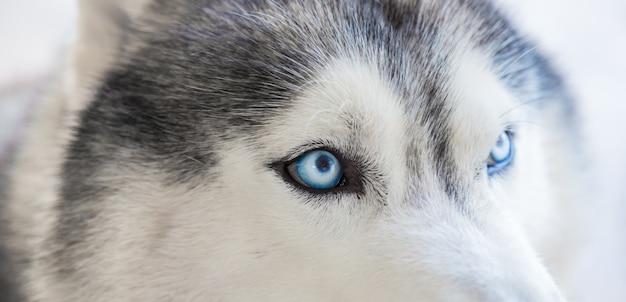 Close-up dos olhos de um husky