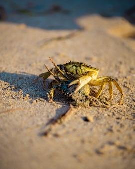 Close-up e foco seletivo no caranguejo da areia vermelha na praia de tanjong lobang, miri, sarawak, bornéu.
