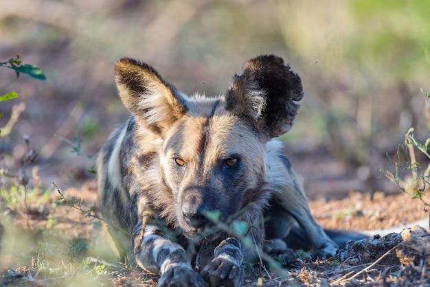 Close-up e retrato de um lindo cão selvagem ou lycaon deitado no mato