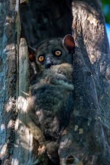 Close-up em belo lêmure na natureza