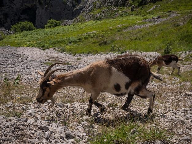 Close-up em cabras da montanha comendo