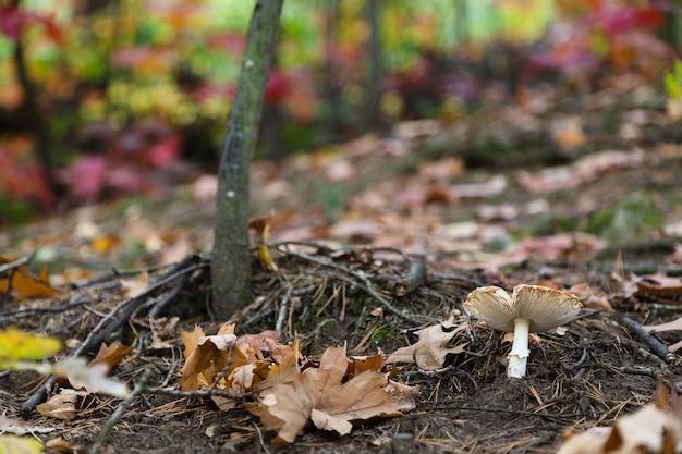 Close-up em cogumelo na floresta de outono