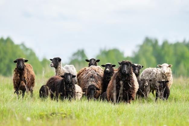 Close-up em cordeiros e ovelhas na grama