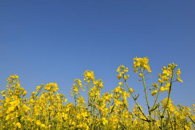 Close-up em flores amarelas de colza crescendo em um campo sob o céu azul