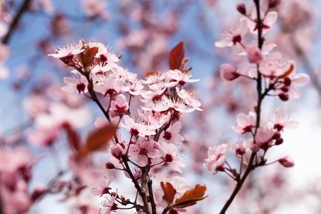 Close-up em flores de cerejeira vermelhas desabrochando