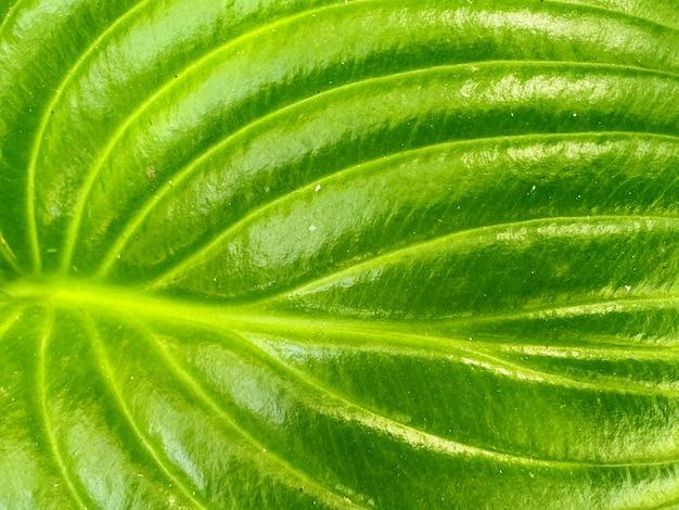 Close-up em fundo de textura de folha verde natural