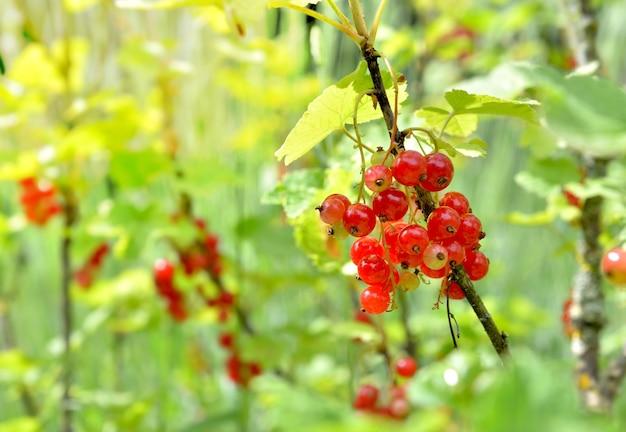 Close-up em groselha crescendo entre folhas no mato