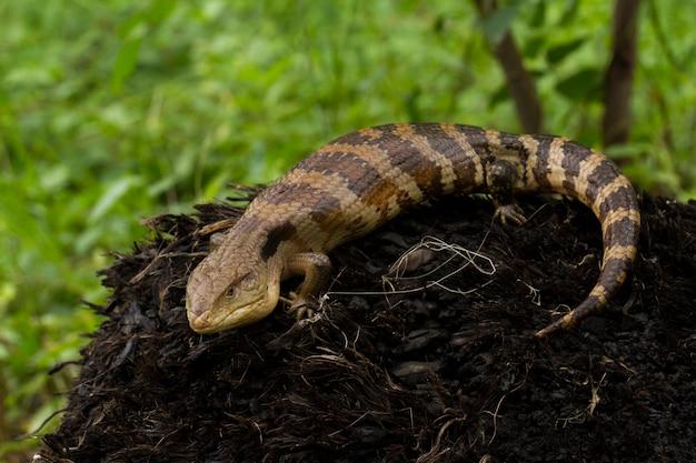 Close-up em lagarto skink de língua azul