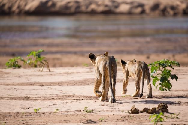 Close-up em leões andando pela savana