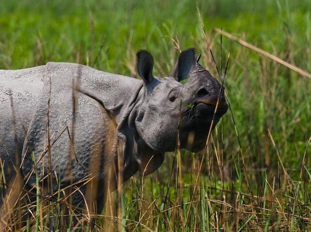 Close-up em lindo rinoceronte na natureza
