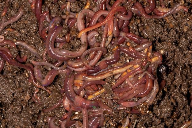 Close-up em minhocas californianas, foto macro.