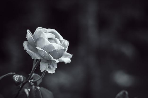 Close-up em pétala de flor rosa sem costura com filtro preto e branco