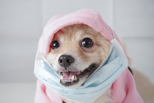 Close-up em raças de cães pequenos ou pomeranian com cabelos castanhos deitado na mesa branca