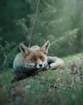 Close-up em raposa adulta selvagem sentada na natureza