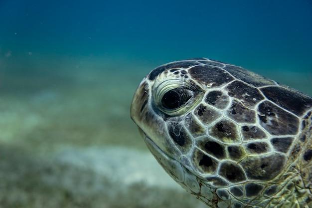 Close-up em tartaruga verde ou chelonia mydas no mar