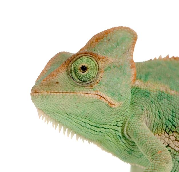 Close-up em um camaleão do iêmen isolado
