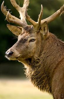 Close-up em um cervo