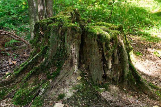 Close-up em um grande toco de árvore na floresta