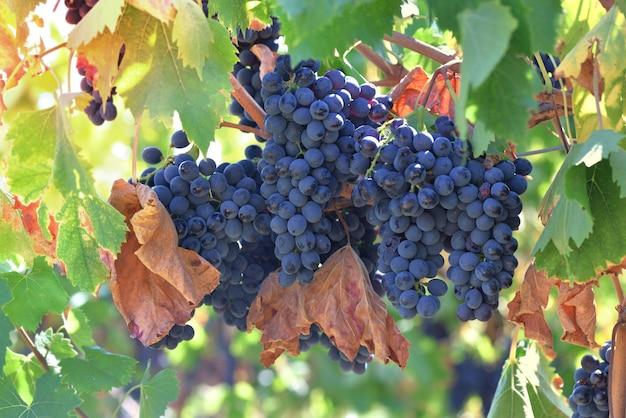 Close-up em uma bela uva preta com folhas marrons crescendo em um vinhedo na toscana, itália