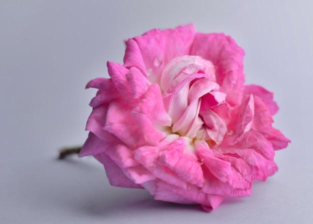 Close-up em uma linda flor rosa rosa cortada em cinza