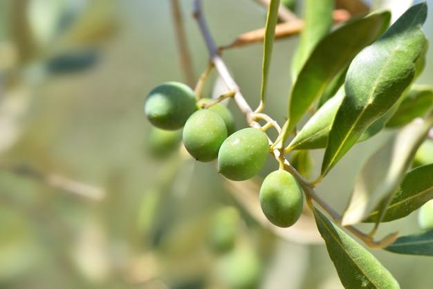 Close-up em uma oliveira fresca crescendo em um galho da árvore